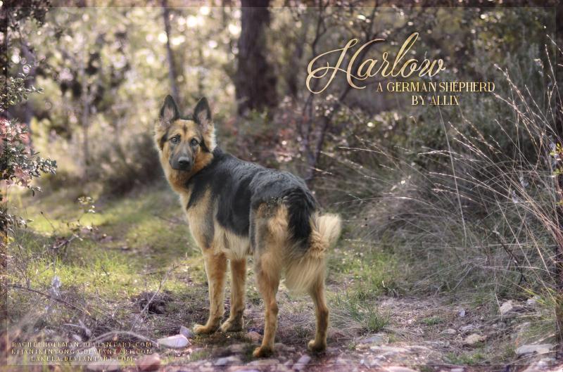 Harlow - A German Shepherd by Allix by rachelhoffman
