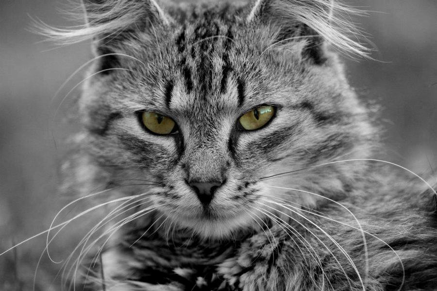 Tabby cat by crepish