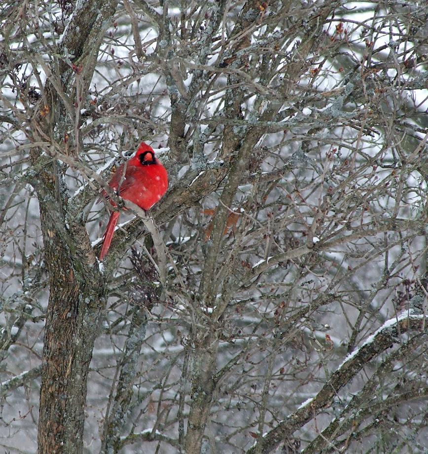Cardinal by AlexMcGilvery