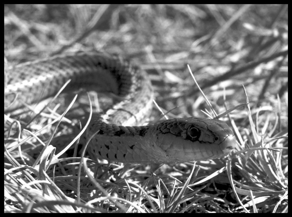 Snake-BW by AlexMcGilvery