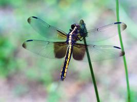 Dragonfly by TheCrossdresser