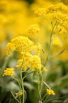 Yellow sweet yellow