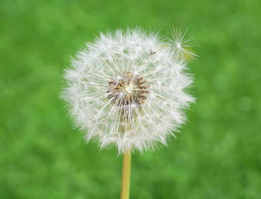 Seeding Dandelion