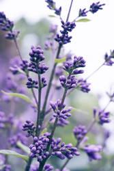 June Lilacs
