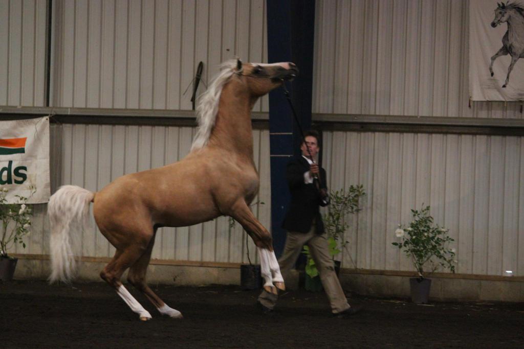 Palomino Arabian by Sooty-Bunnie
