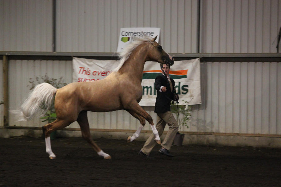 Palomino Arabian 2 by Sooty-Bunnie