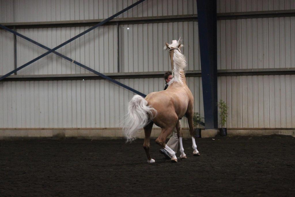 Palomino Derivative Arabian 2 by Sooty-Bunnie