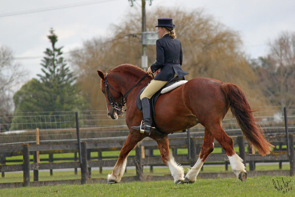 Welsh Cob Dressage by Sooty-Bunnie