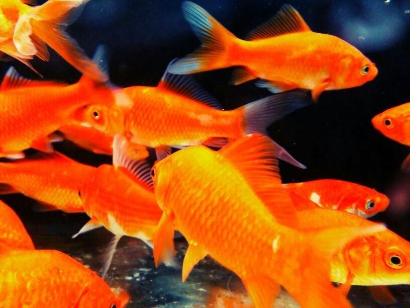 peces dorados by worldboy1 on deviantart