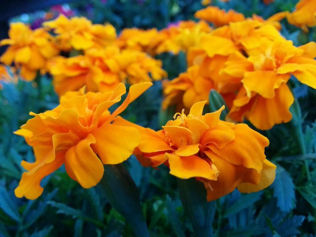 Claveles naranjas by Worldboy1