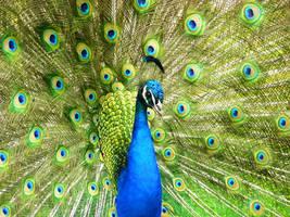 Peacock by monkeyatwar