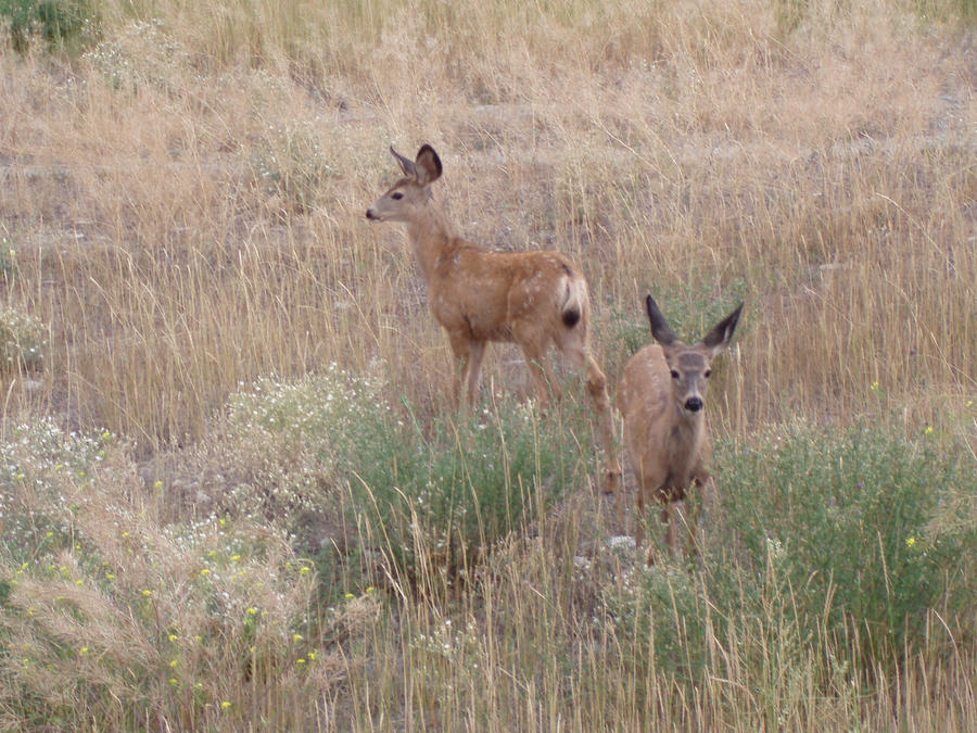 Two Deer Fawns by Bwabbit
