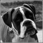 Molly the boxer BW by Drake-UK
