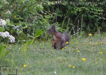 Brown Squirrel / Eichhoernchen (braun)