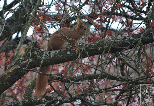 003 Red Squirrel