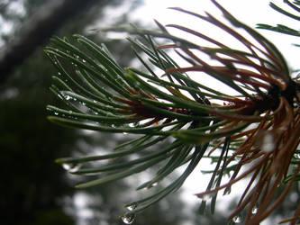 Wet Pine by Crazy-Ocelot