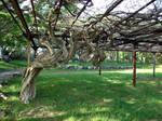 Loop Tree
