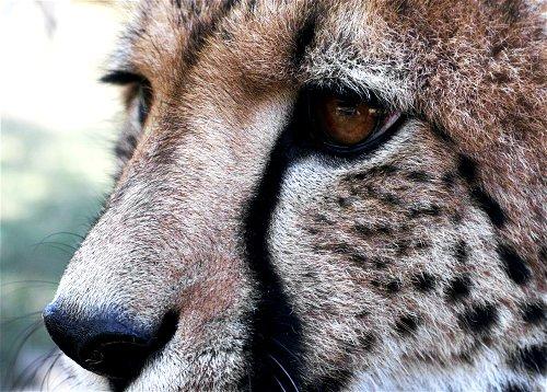 Cheetah Eye by FSGPhotography