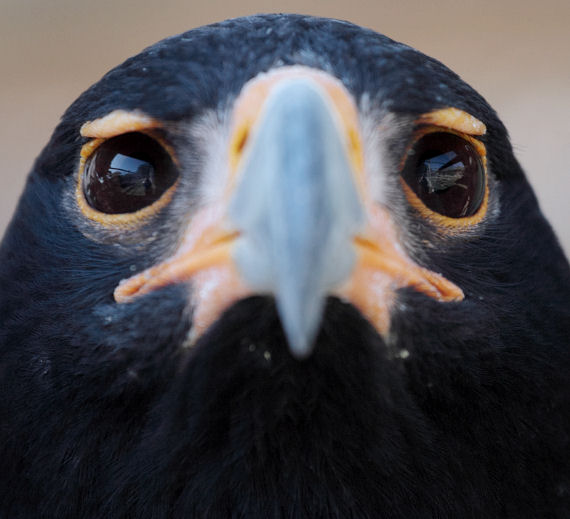 Black Eagle Closeup by FSGPhotography