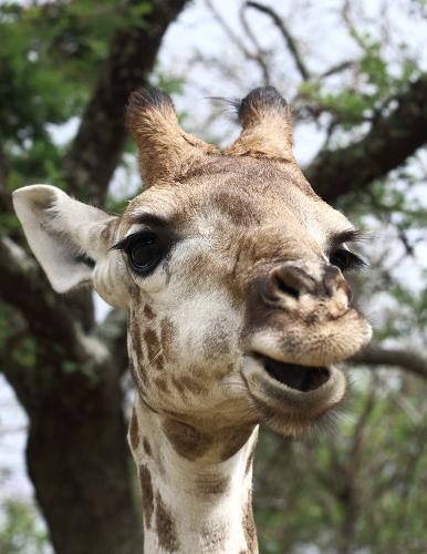 Happy Giraffe by FSGPhotography