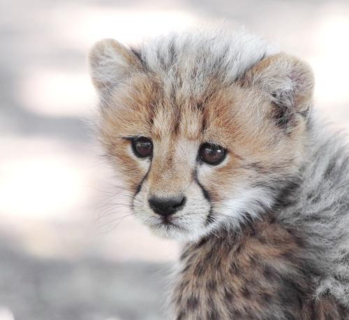 Cheetah Kitten by FSGPhotography