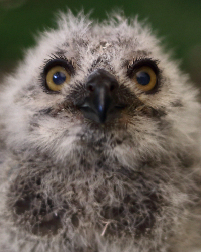 Baby Owl by FSGPhotography