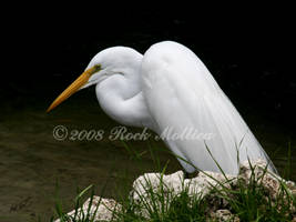 Great Egret by SteelCowboy