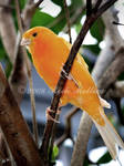 Yellow Bird by SteelCowboy
