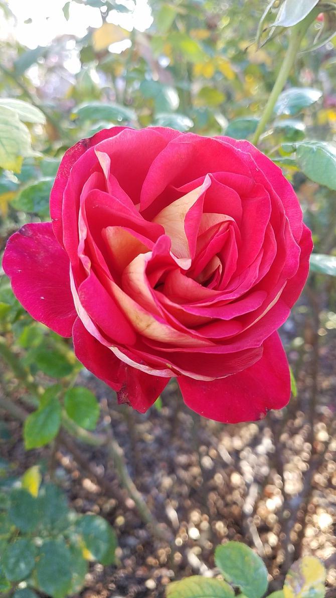 Cell Study - Rose Garden #5 by MisfitsTamara