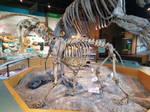 Sabertooth Cat Skeletal Display