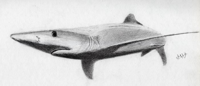 animals - Blue Shark - graphite