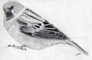 animals - Sparrow - graphite