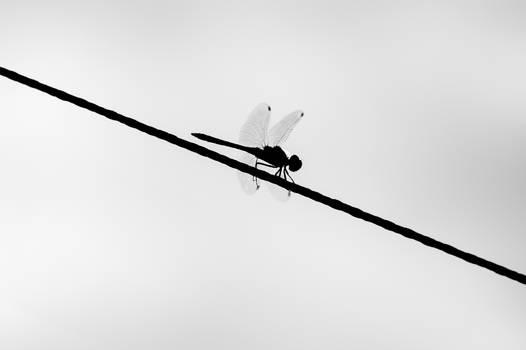 flat black dragonfly