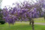 wisteria_purple_flower2