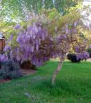 Wisteria_springtime_garden3