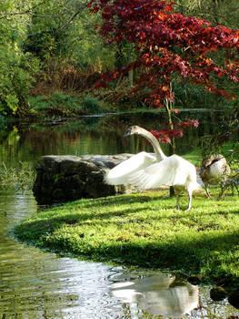 Swan garden 2