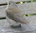 Grey Bird_3 by GoblinStock