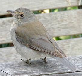 Grey Bird_2 by GoblinStock