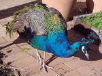Peacock_08