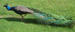 Peacock_09