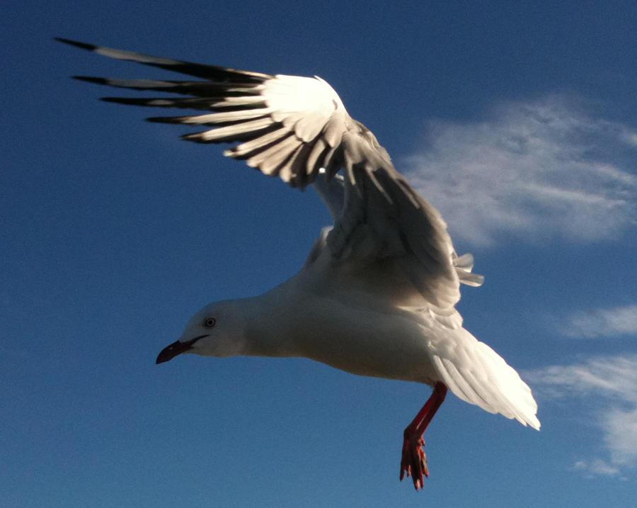 Seagull 9 by GoblinStock
