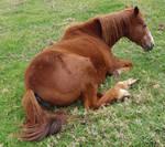Old Chestnut Horse 10