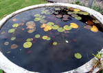 Lillypad Goldfish Pond 4