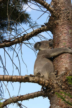 this Koala is up the wrong tree
