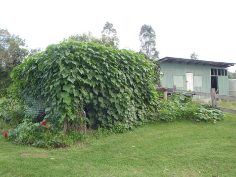 Shed Covered in Vines