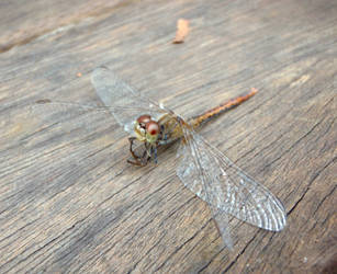 Dragonfly 01 by GoblinStock