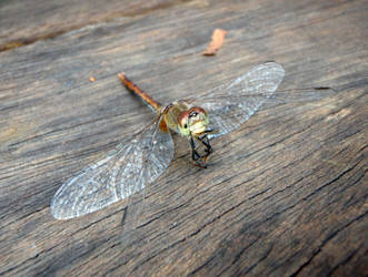 Dragonfly 02 by GoblinStock