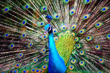 Peacock by RedRose-Petals
