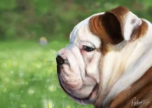 bulldogy