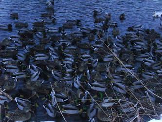 Many Ducks
